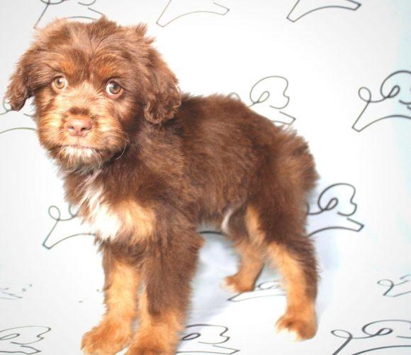 Milo - Aussiedoodle puppy for sale.0