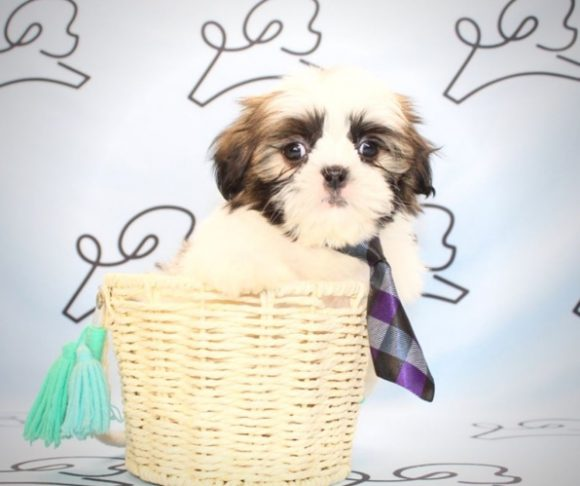 Milo - Shih Tzu puppies for sale in California.0
