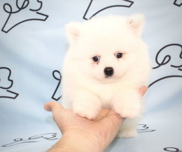 Minecraft - Pomeranian Puppy By Breeder.4