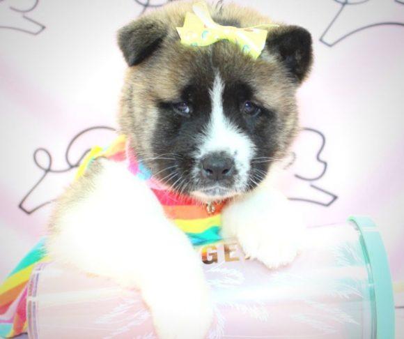 Misaki - Akita puppies for sale in San Diego.0