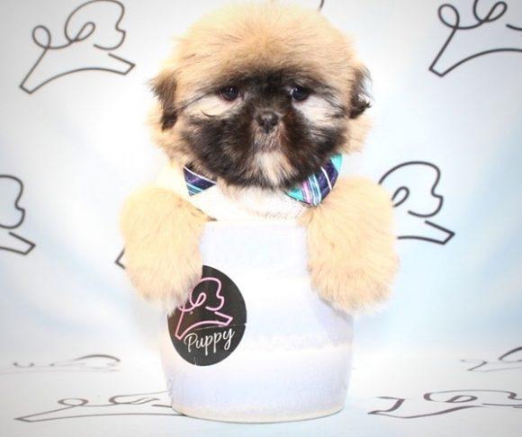 Mischief - Toy Shih Tzu Puppy for sale by breeder.0