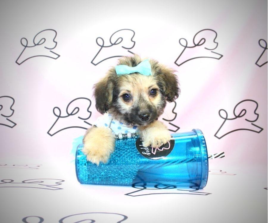 Moira Rose - toy Yorkiepoo puppy in Las Vegas:Los Angeles.1