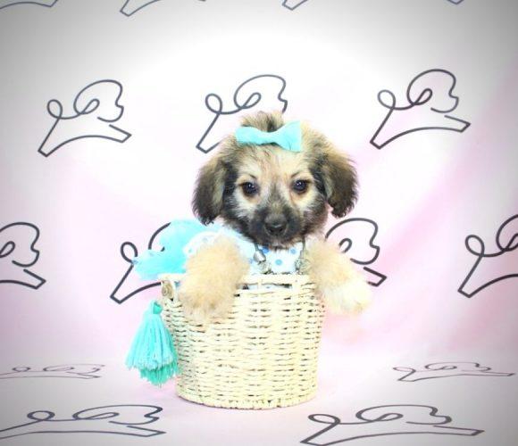 Moira Rose - toy Yorkiepoo puppy in Las Vegas:Los Angeles.2