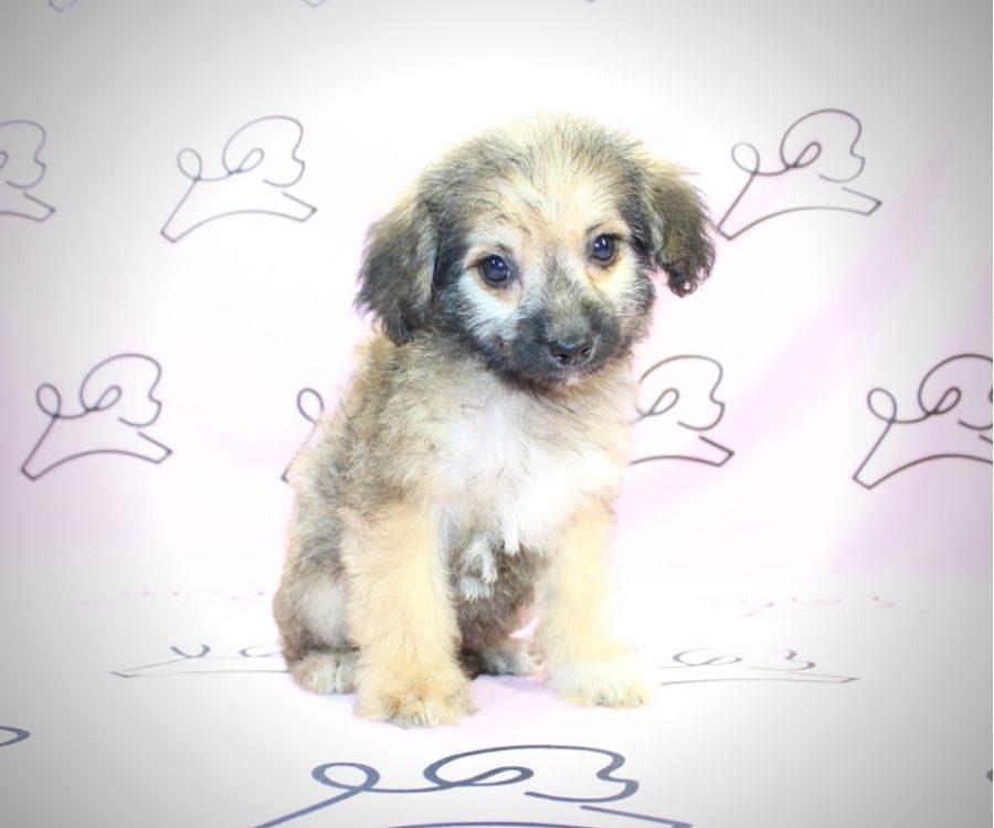 Moira Rose - toy Yorkiepoo puppy in Las Vegas:Los Angeles.4