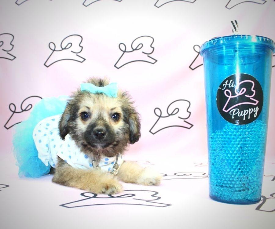 Moira Rose - toy Yorkiepoo puppy in Las Vegas:Los Angeles.5