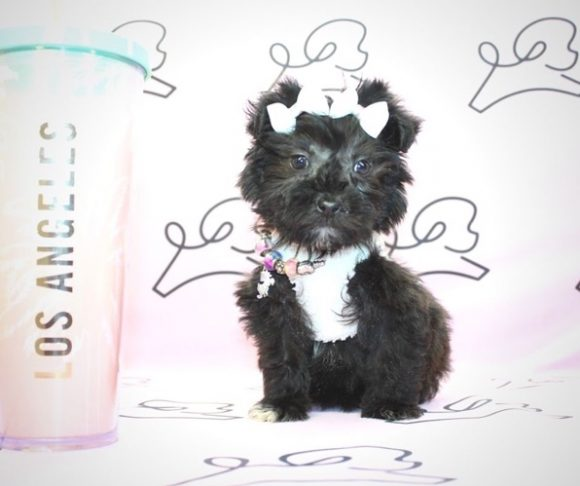 Molly - Teacup French Poodle Puppy near Santa Barbara.0