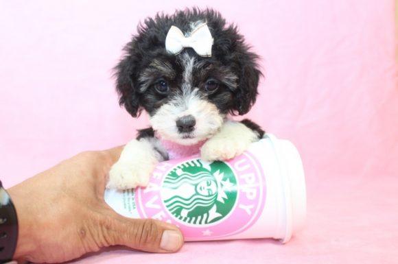 Molly - Teacup Maltipoo Puppy4