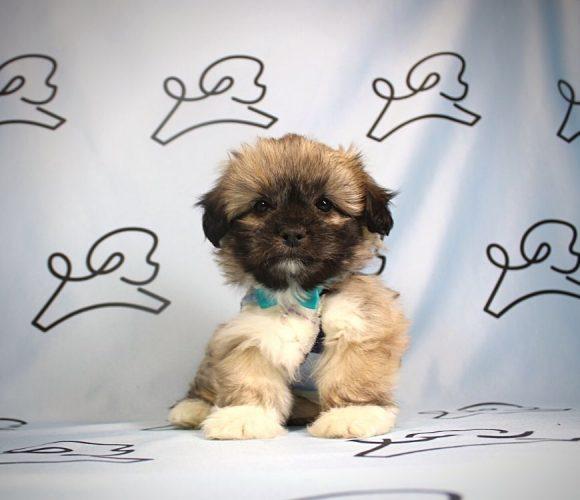 Moritz - Toy Shih-Poo puppy in Las Vegas:Los Angeles.3