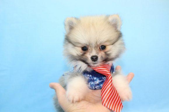 Mr. President - Teacup Pomeranian Puppy5