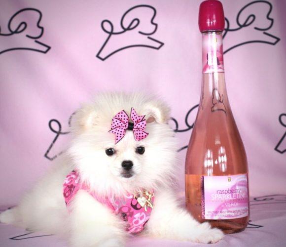 Nala - toy pomeranian puppy in Las Vegas:Los Angeles.0