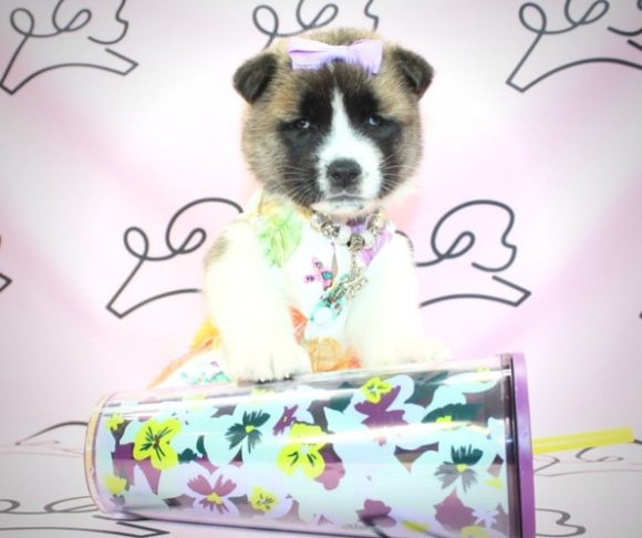 Natsumi - Akita dog breed in Las Vegas.2