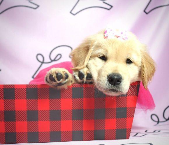 Nea - Golden Retriever puppy in Las Vegas:Los Angeles.0