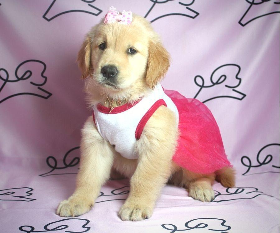 Nea - Golden Retriever puppy in Las Vegas:Los Angeles.1