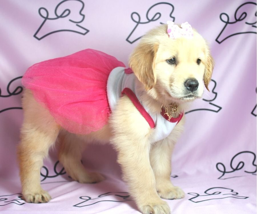 Nea - Golden Retriever puppy in Las Vegas:Los Angeles.2