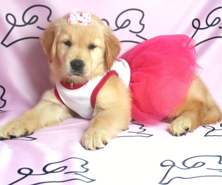 Nea - Golden Retriever puppy in Las Vegas:Los Angeles.3