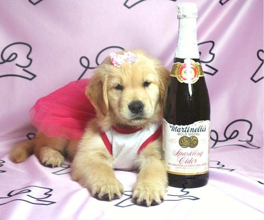 Nea - Golden Retriever puppy in Las Vegas:Los Angeles.4