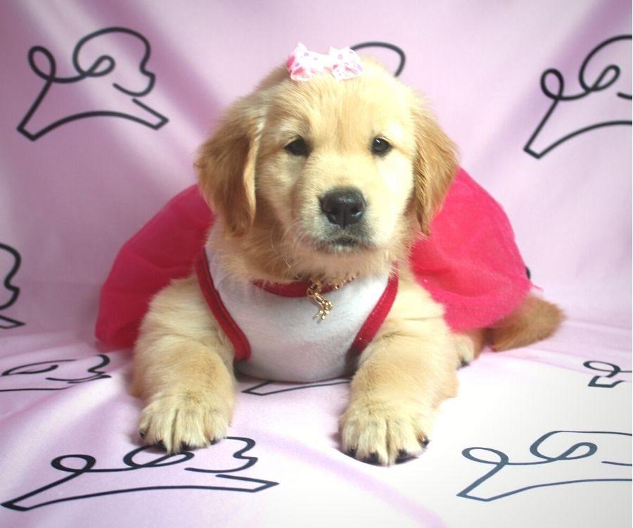 Nea - Golden Retriever puppy in Las Vegas:Los Angeles.5