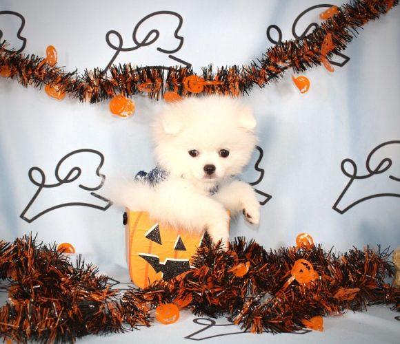 Neo - toy pomeranian puppy in Las Vegas:Los angeles.0