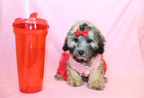 Neshama - Toy Maltipoo Puppy8