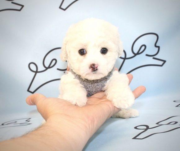Nonny - Teacup Maltipoo Puppy Near Santa Monica.1