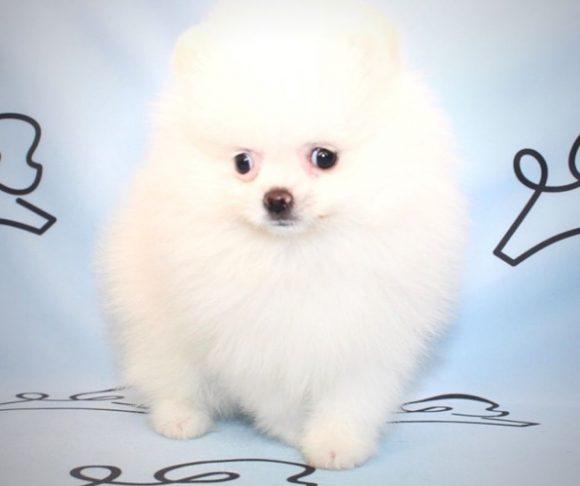 Oakley - Toy Pomeranian Puppy in Las Vegas.1