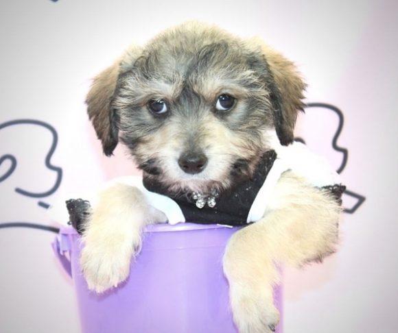 Olivia Rodrigo - Schnauzer Puppy.2