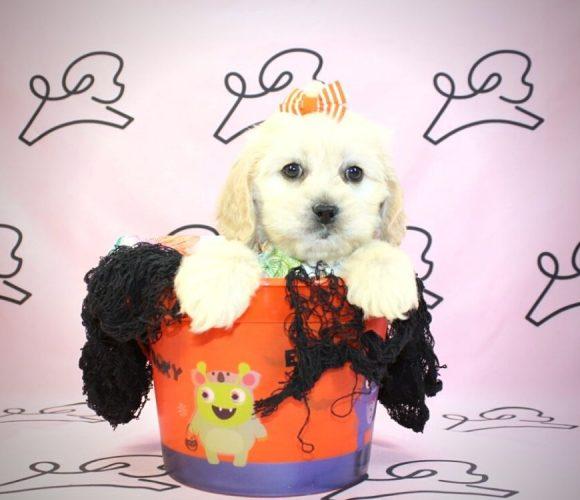 Olivia - cockapoo puppy in Las Vegas:Los Angeles.5