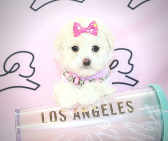 Oona - Toy Maltipoo Puppy For Sale By Breeder.1