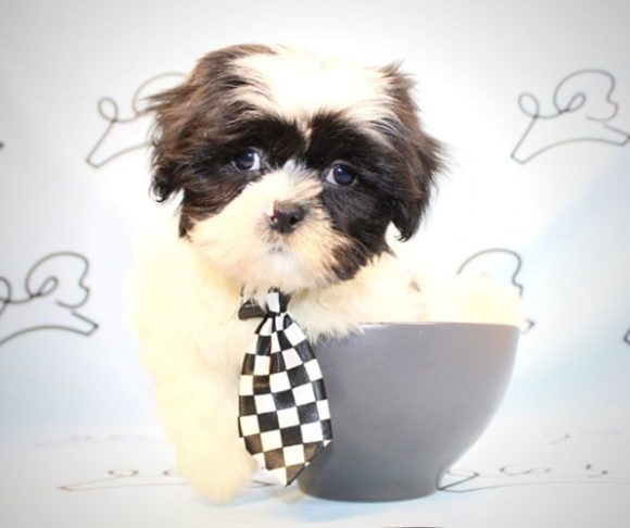 Oreo - black and white Shih Tzu in San Diego.2