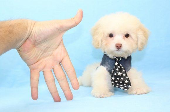 Papi - Toy Maltipoo Puppy3