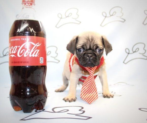 Paul Rudd - Tiny Pug Puppy near Los Angeles.2