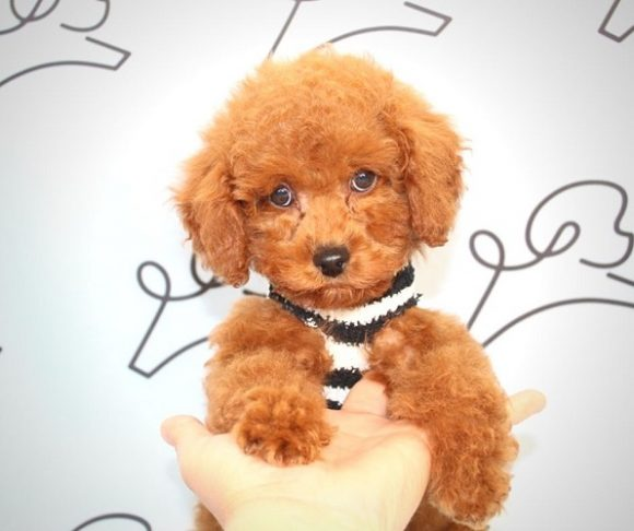 Paul - Toy Poodle Puppy in Las Vegas 05
