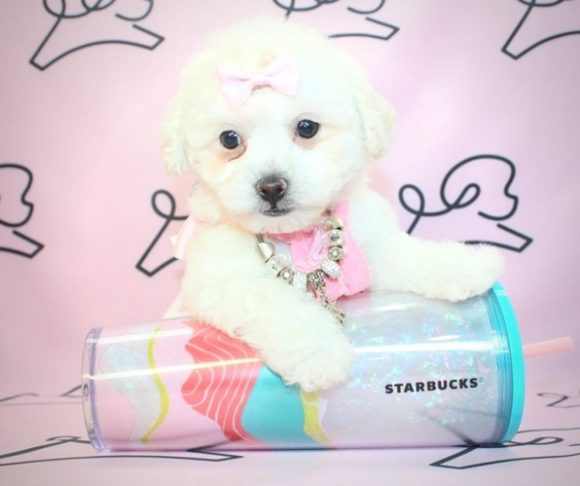 Pebbles - Toy Maltipoo Puppy for sale by breeder.1