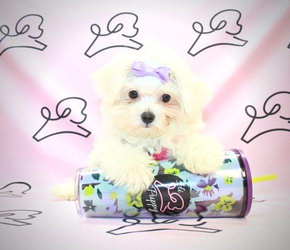 Peggy - toy maltese puppy in Las Vegas:Los Angeles.0