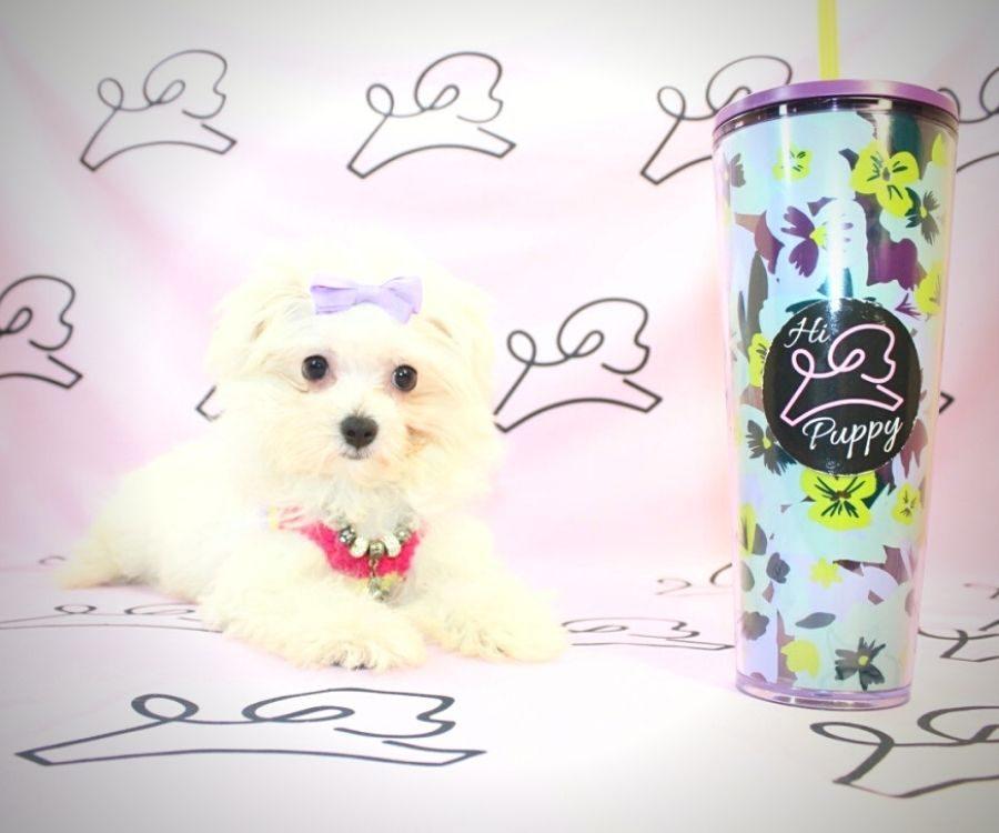 Peggy - toy maltese puppy in Las Vegas:Los Angeles.1