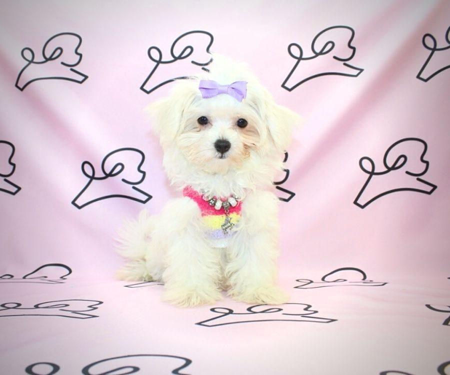 Peggy - toy maltese puppy in Las Vegas:Los Angeles.2