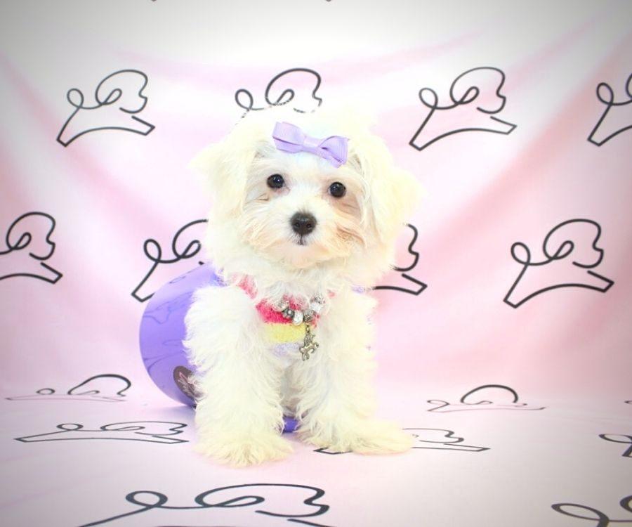 Peggy - toy maltese puppy in Las Vegas:Los Angeles.3