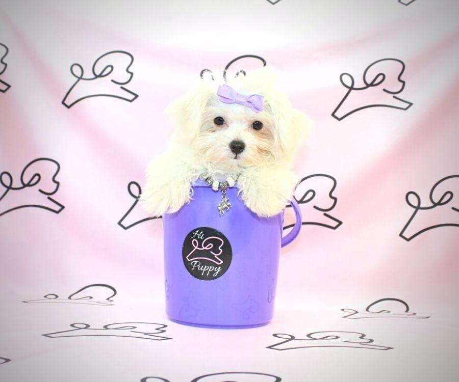 Peggy - toy maltese puppy in Las Vegas:Los Angeles.4