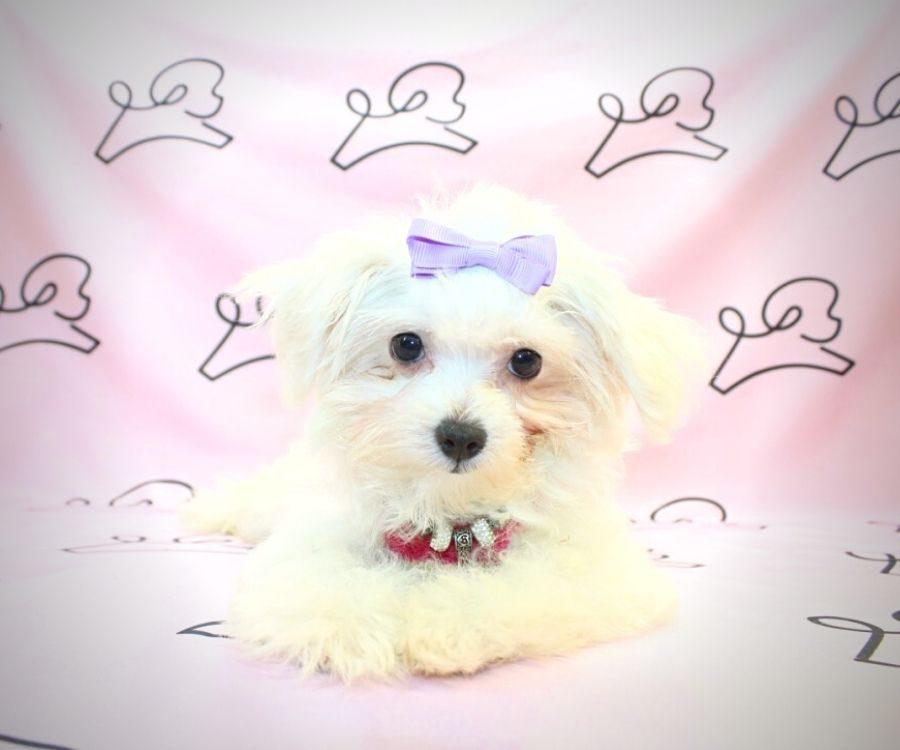 Peggy - toy maltese puppy in Las Vegas:Los Angeles.5