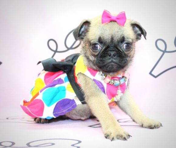 Penelope - pug breed in Santa Monica.4