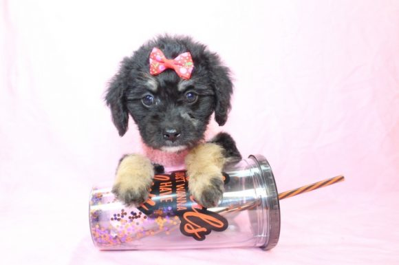 Penny Lane - Teacup Yorkipoo Puppy6