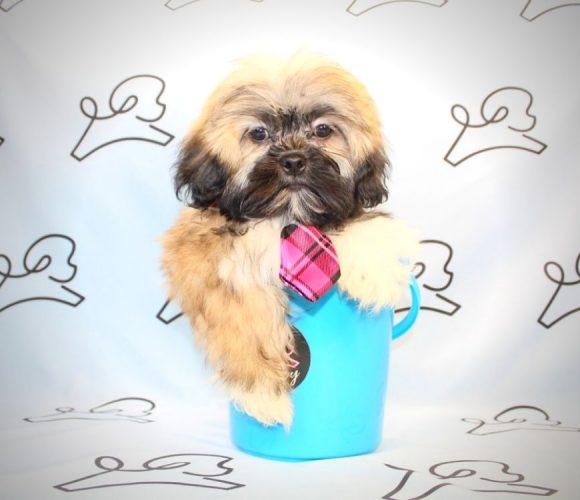 Pepe Le Pew - Shih Tzu puppies in Las Vegas.2