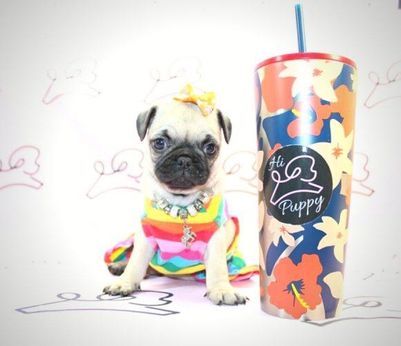 Percy - toy pug puppy in Las Vegas:Los Angeles.5