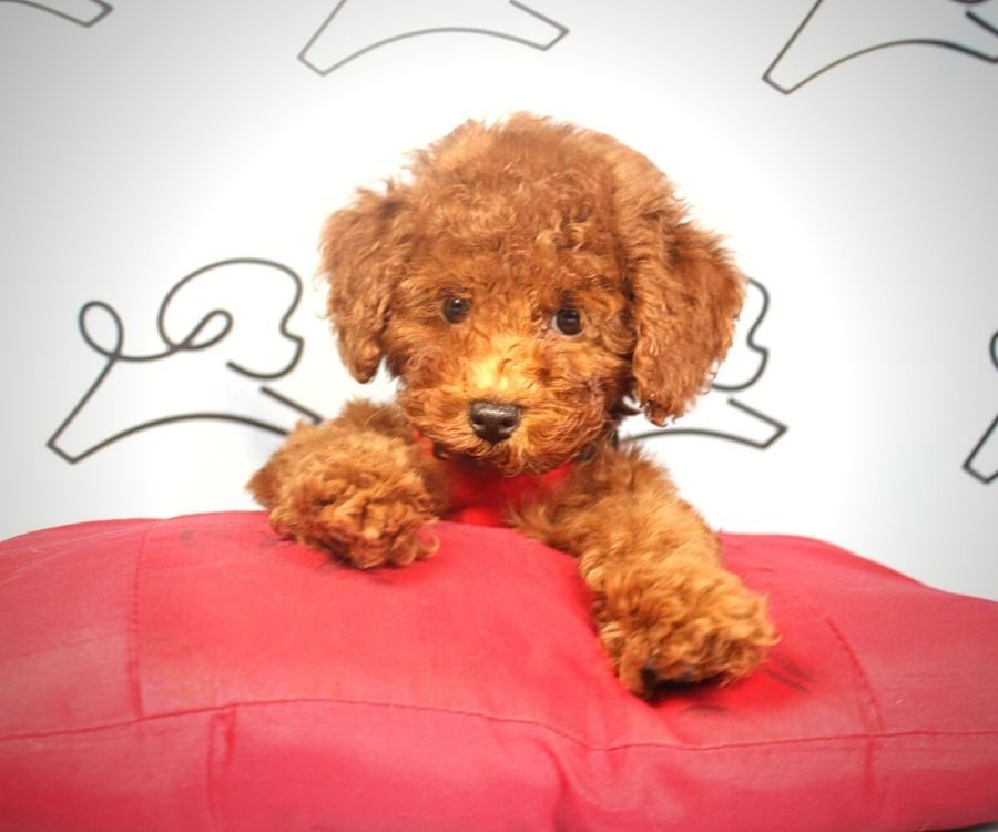 Ping Pong - toy Poodle puppy in Las Vegas:Los Angeles.1