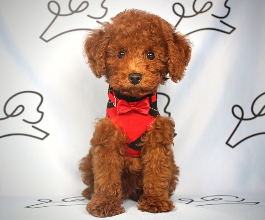 Ping Pong - toy Poodle puppy in Las Vegas:Los Angeles.2