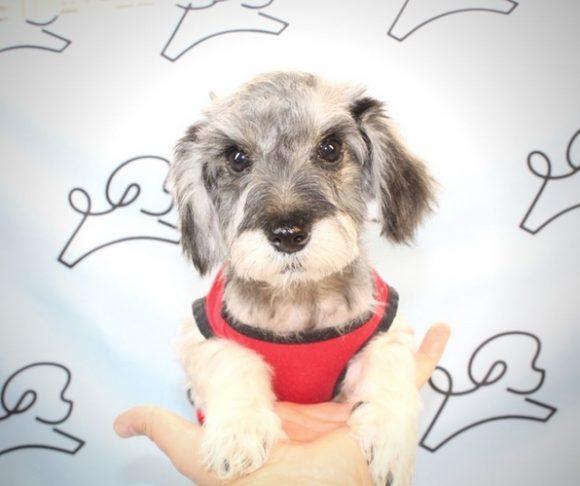 Piper - Schnauzer Puppy.2