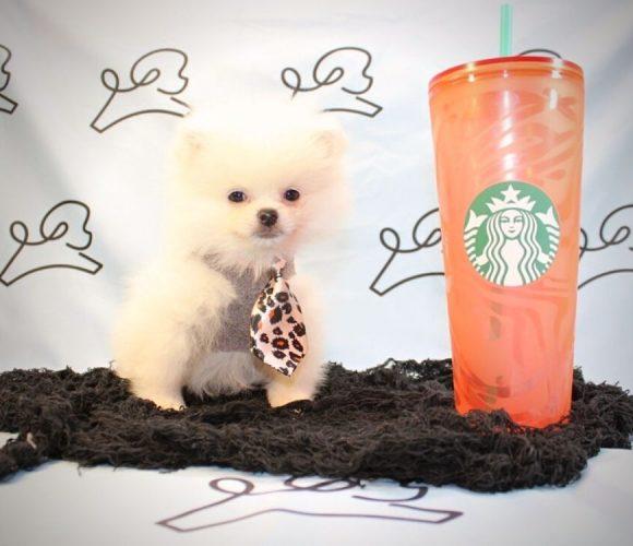 Pocus - teacup pomeranian puppy in Las vegas:Los Angeles.4
