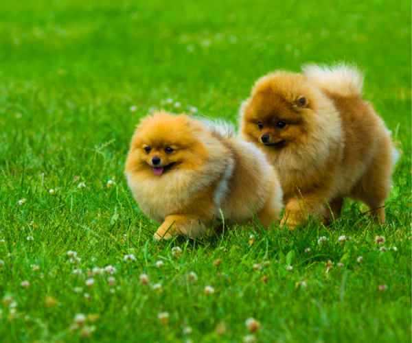 Pomeranian Article.4