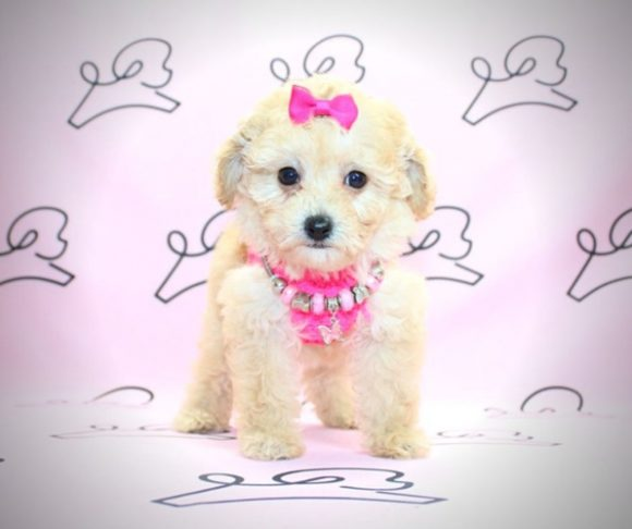 Pookey - miniature poodle in Las Vegas.4