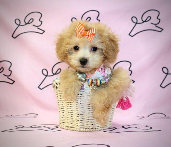Pumpkin - maltipoo puppy in Las Vegas:Los Angeles.3